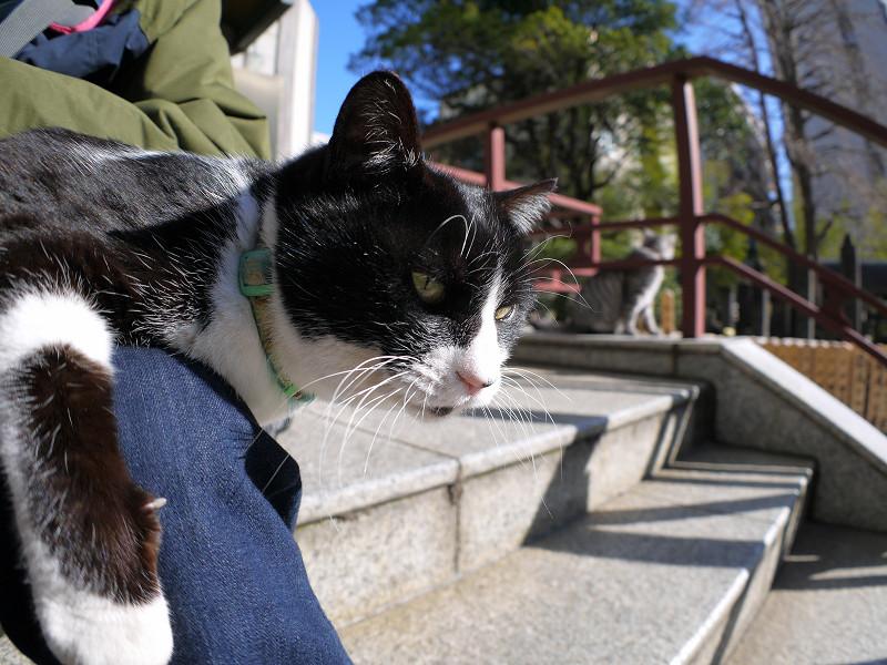 膝に乗り続けてる黒白猫3