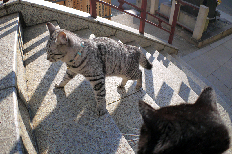 階段を上がって来たサバトラ猫4