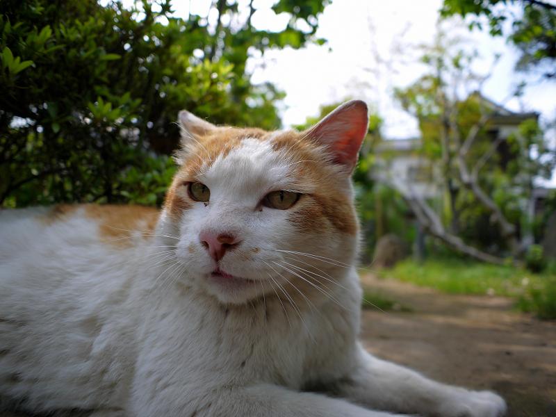 公園で腹ばっている白茶猫1