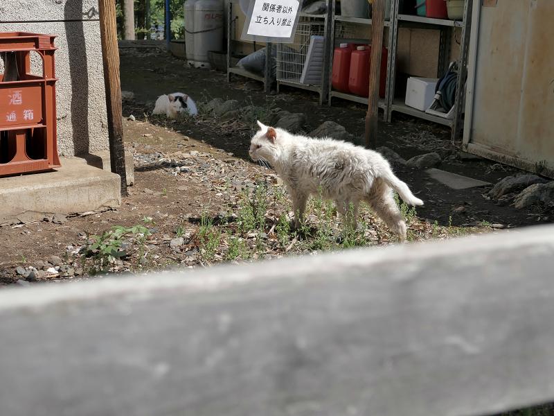 白猫オッド・アイ1