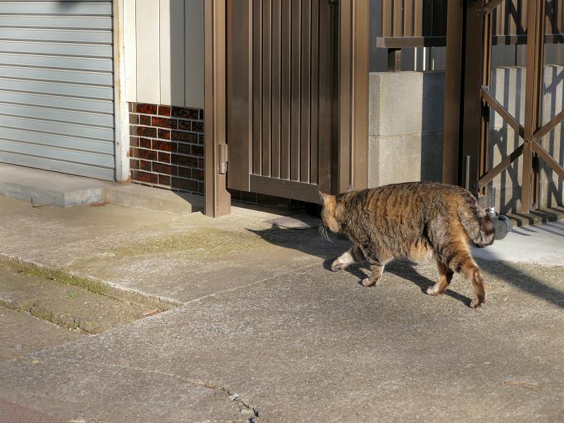 参道の端を歩くキジトラ猫1