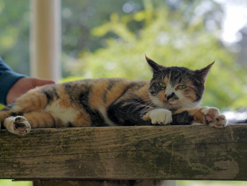 ベンチで寝る三毛猫2