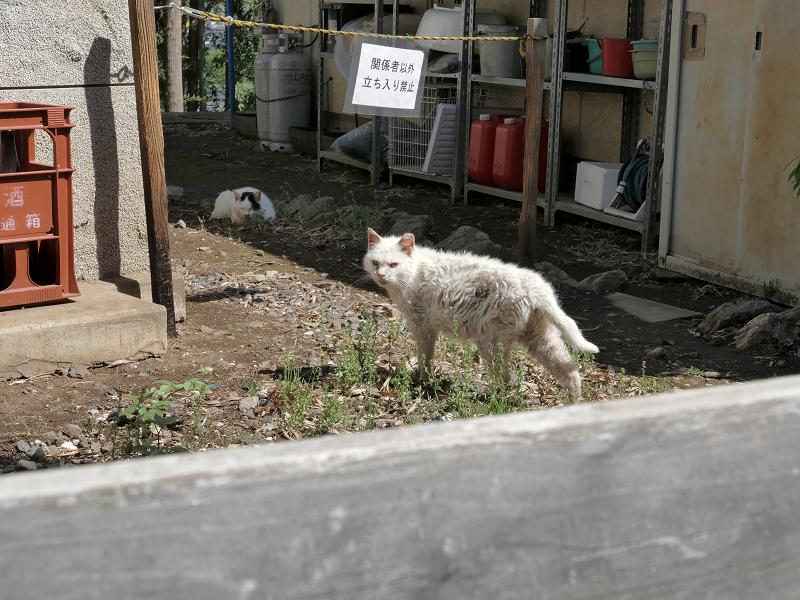 白猫オッド・アイ2