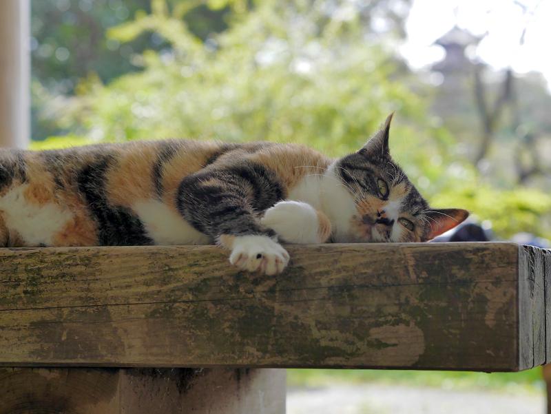 ベンチで寝る三毛猫3