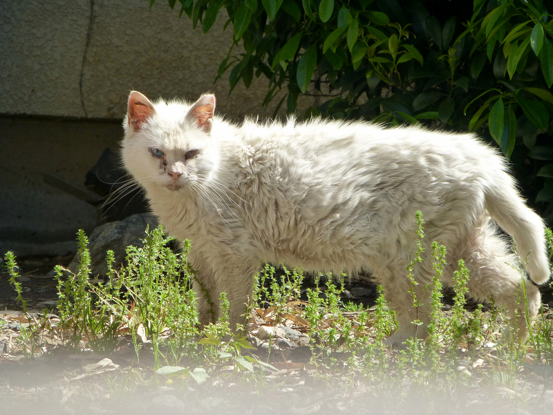 白猫オッド・アイ3