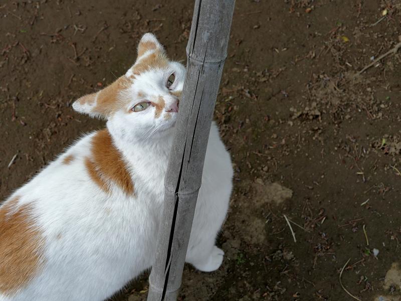 竹支柱と白茶猫4