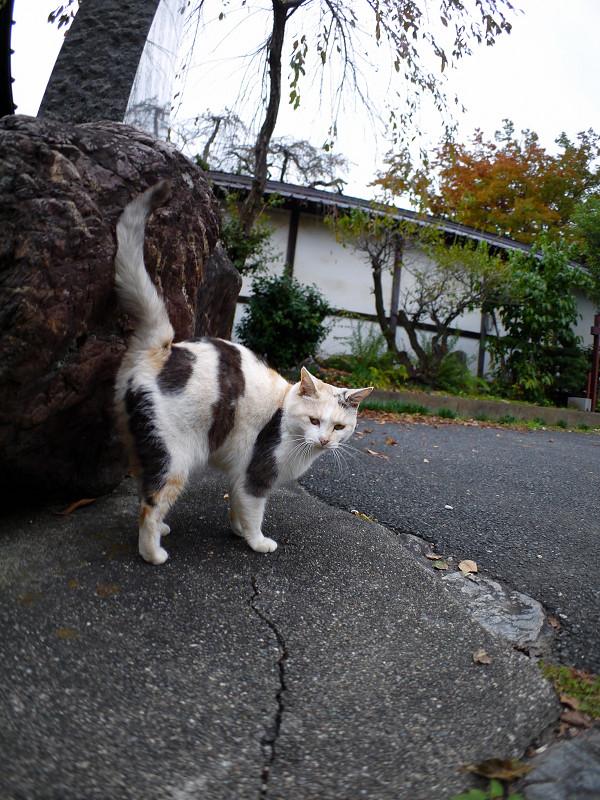 立ち止まる薄三毛猫1