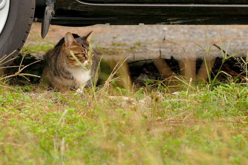 車の下のキジ白仔猫1