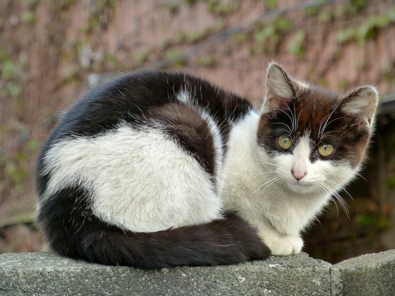 塀に座ってる黒白猫1