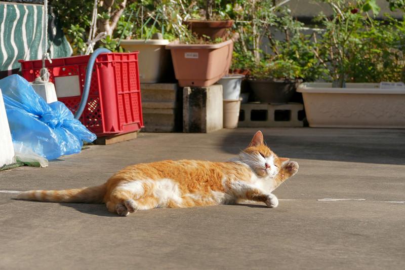 駐車場で毛繕いしてる茶白猫1