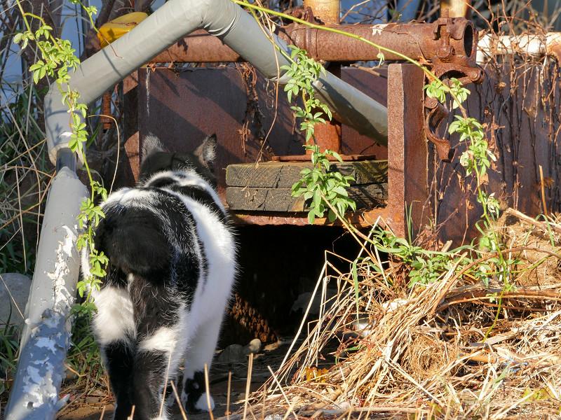 枯れ草を覗き込む白黒猫1
