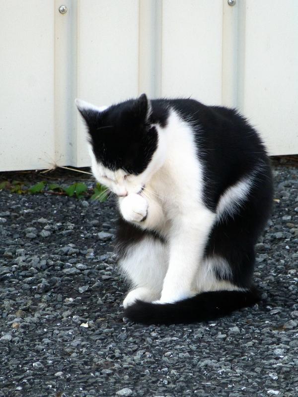 手をなめる黒白猫