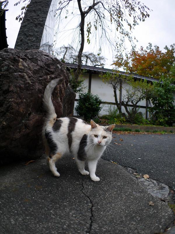立ち止まる薄三毛猫2