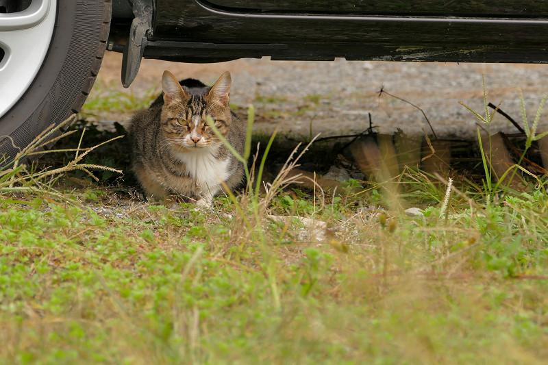 車の下のキジ白仔猫2