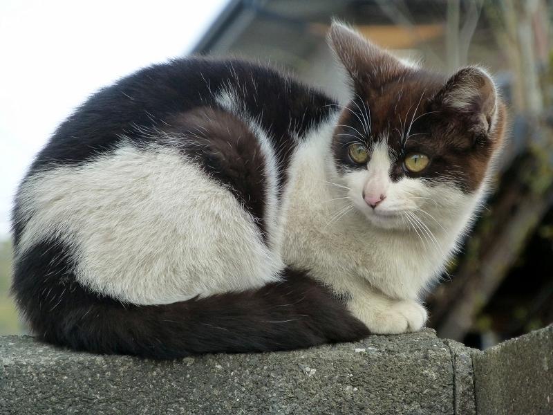 塀に座ってる黒白猫2
