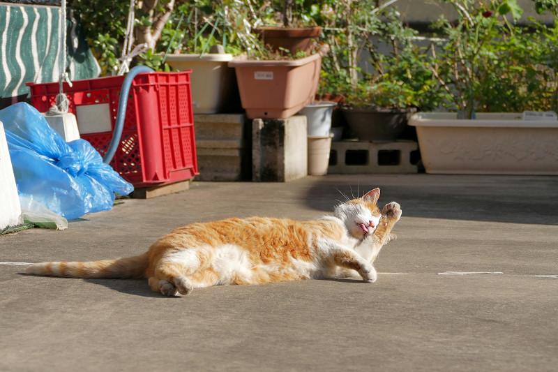 駐車場で毛繕いしてる茶白猫2