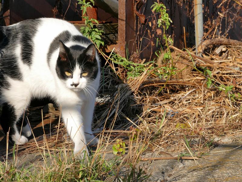 枯れ草を覗き込む白黒猫2