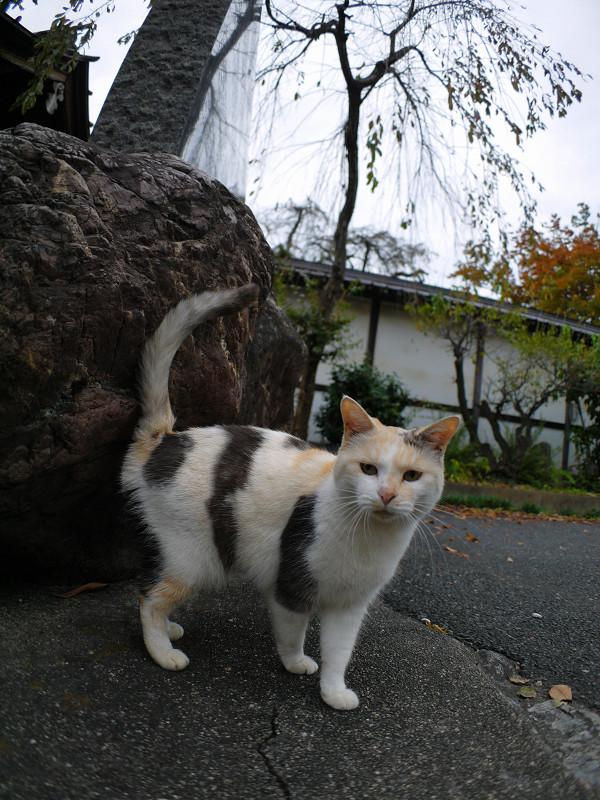 立ち止まる薄三毛猫3