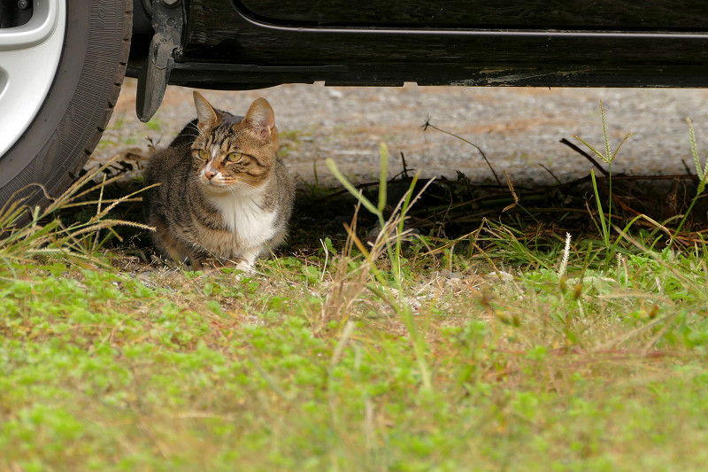 車の下のキジ白仔猫3