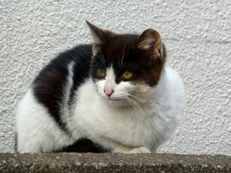 塀に座ってる黒白猫3