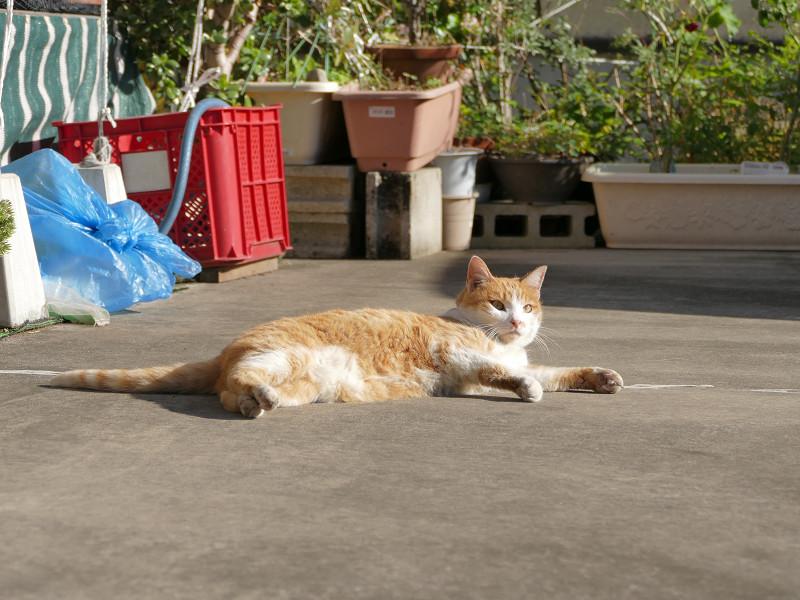 駐車場で毛繕いしてる茶白猫3