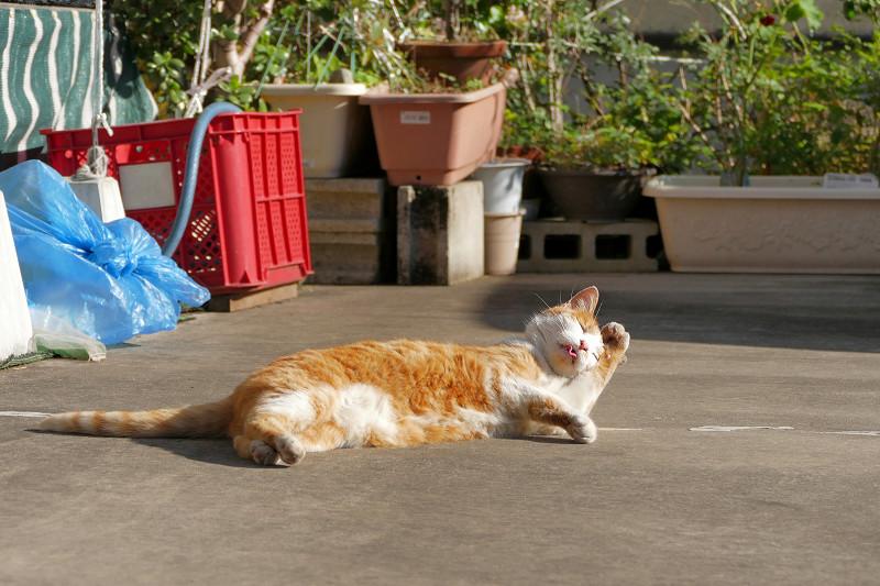駐車場で毛繕いしてる茶白猫4