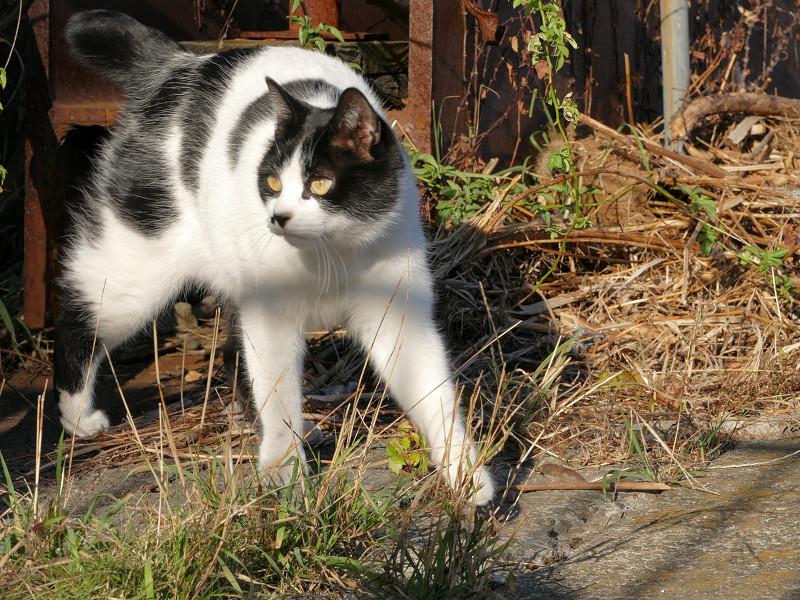 枯れ草を覗き込む白黒猫3
