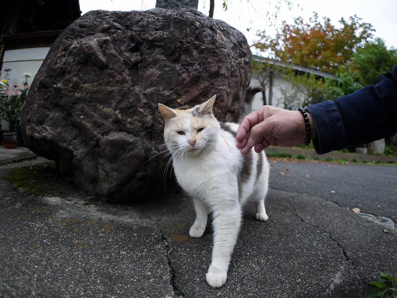 立ち止まる薄三毛猫4