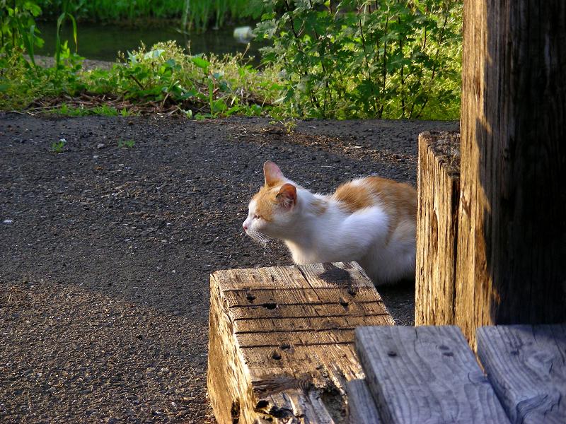 資材置き場の白茶猫1