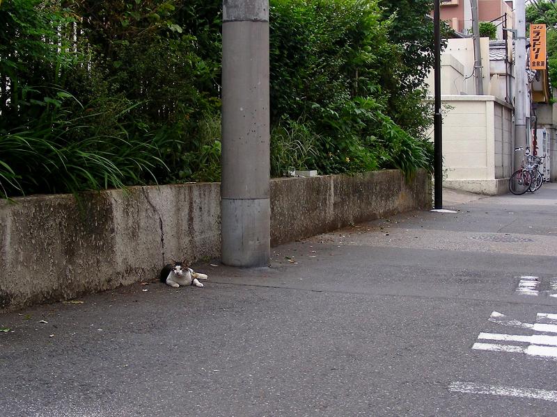 路地で歩み寄るキジ白猫1