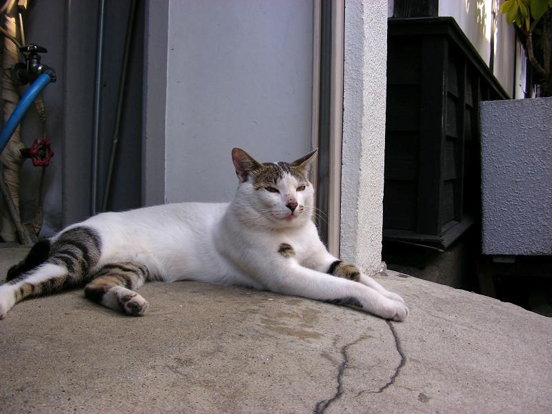 お腹とくっつける白キジ猫1