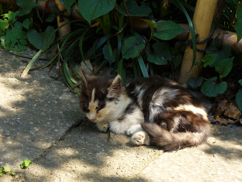 木漏れ日の三毛仔猫