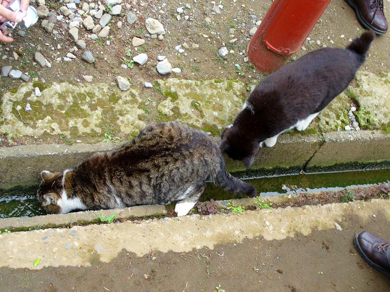 水路で水を飲むキジ白猫3