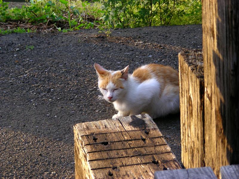 資材置き場の白茶猫2