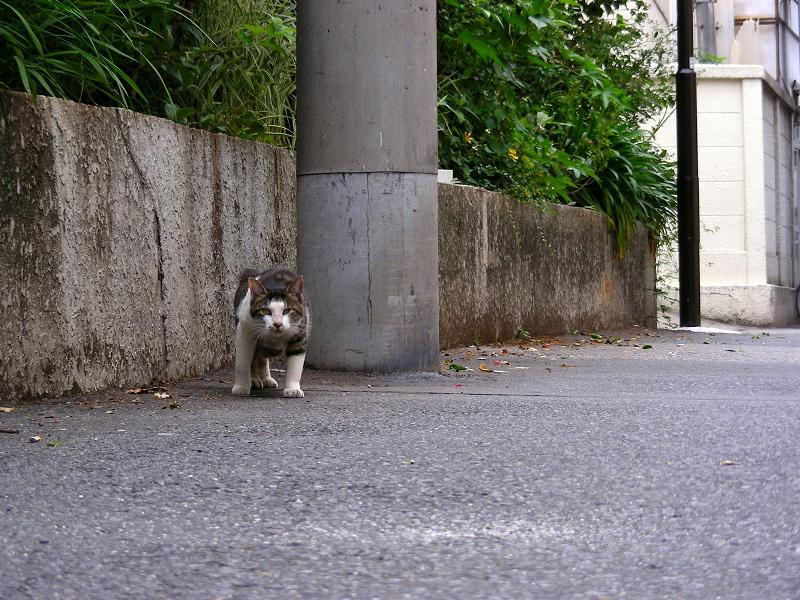 路地で歩み寄るキジ白猫2