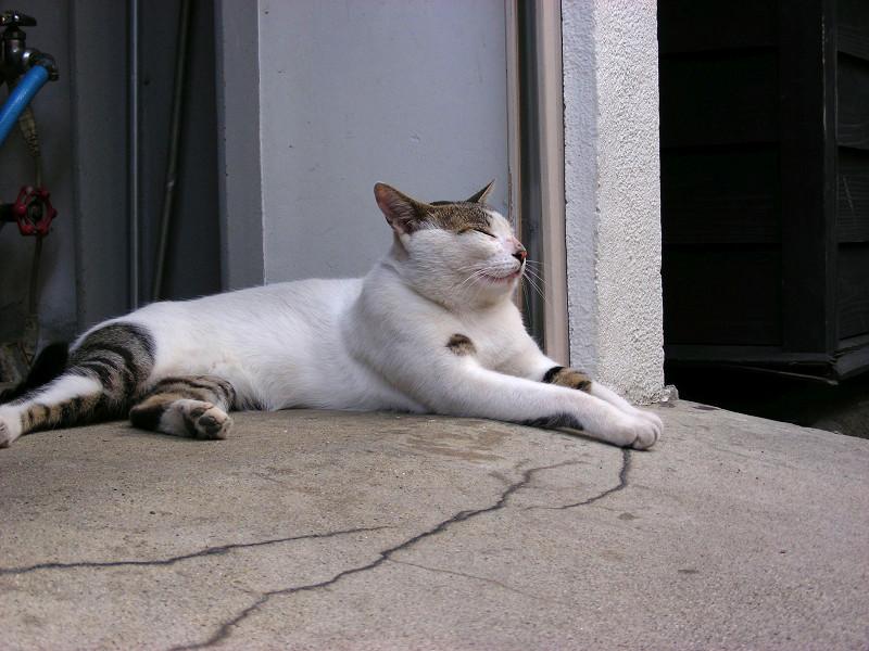 お腹とくっつける白キジ猫2