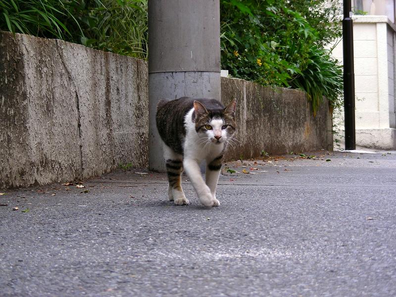 路地で歩み寄るキジ白猫3