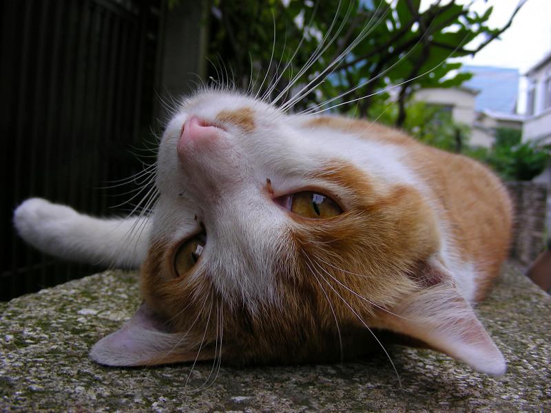 門柱で寛ぐ茶白猫3
