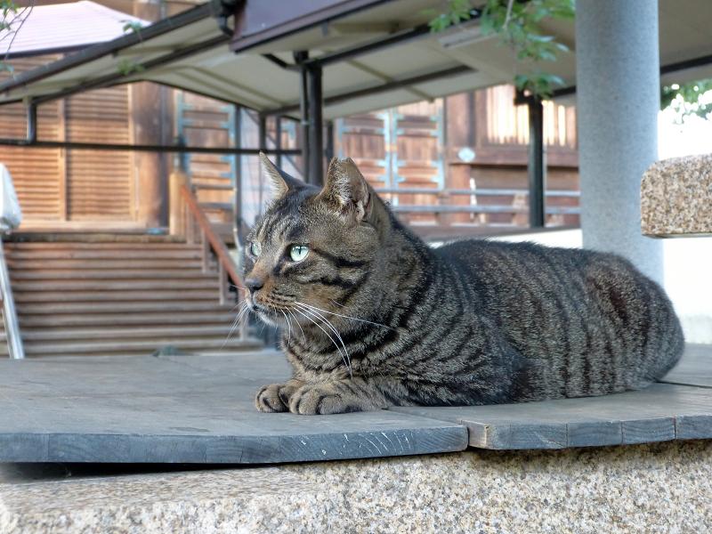 井戸の蓋上でマッタリのキジトラ猫1