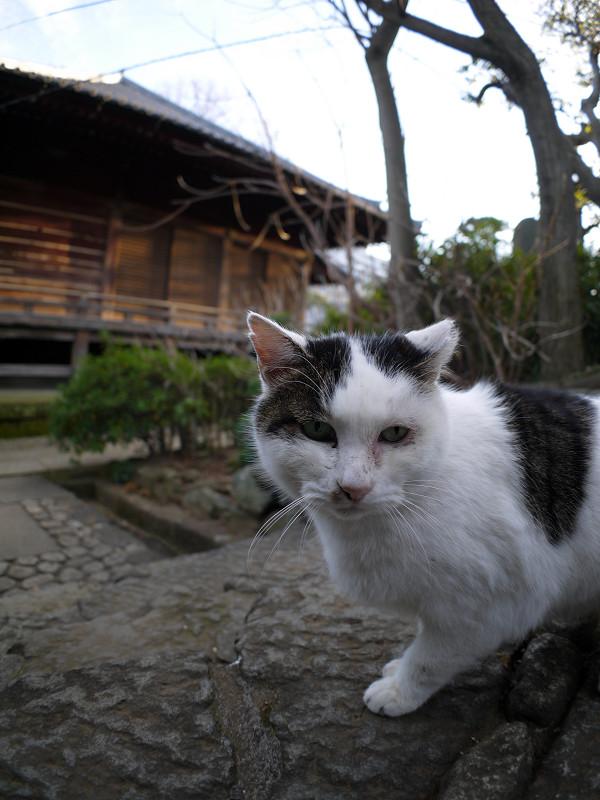 お堂前の白キジ猫1