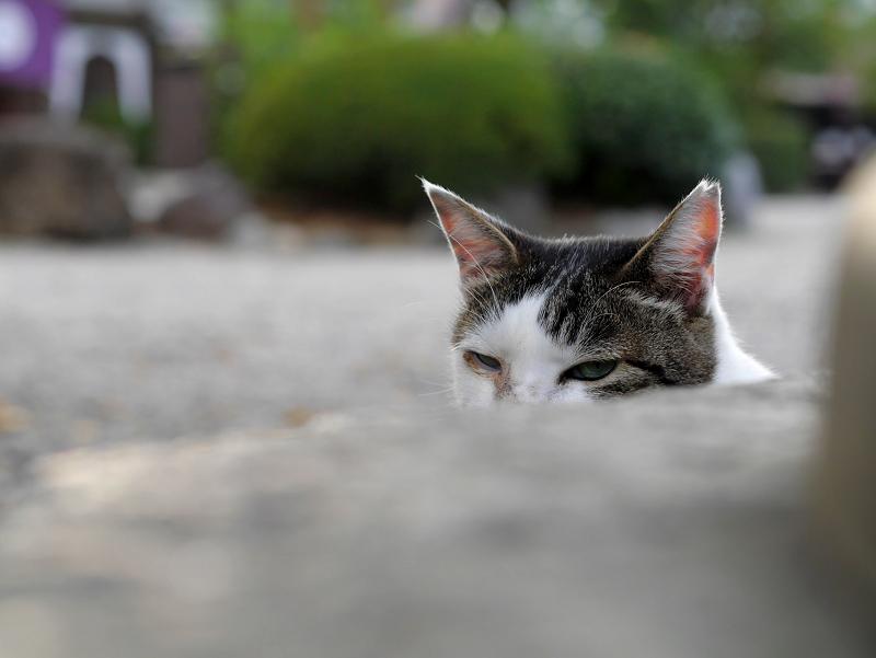 石灯籠から見つめる白キジ猫1