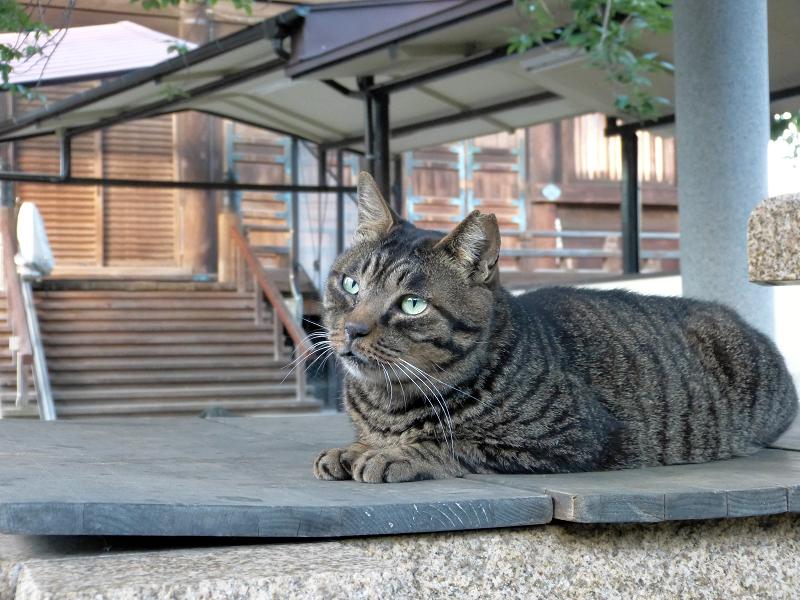 井戸の蓋上でマッタリのキジトラ猫2