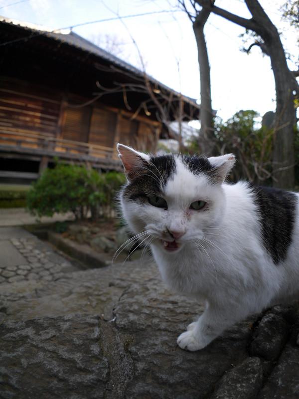 お堂前の白キジ猫2