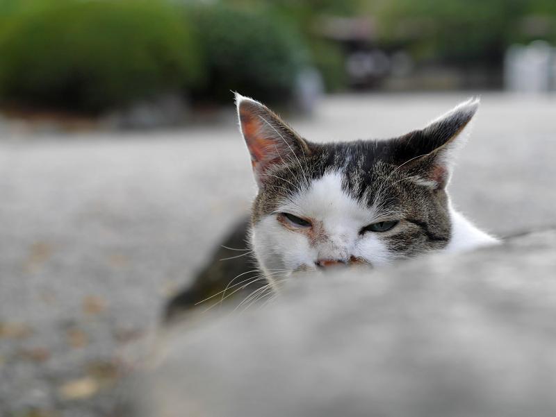石灯籠から見つめる白キジ猫2