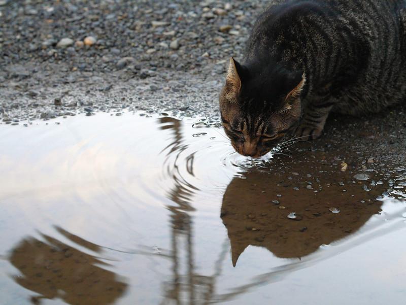 雨水溜り水を飲むキジトラ猫