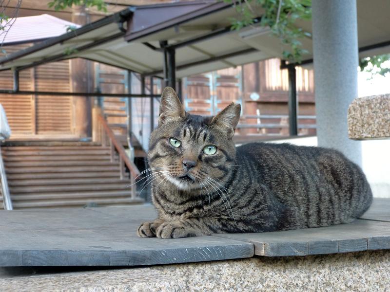 井戸の蓋上でマッタリのキジトラ猫3