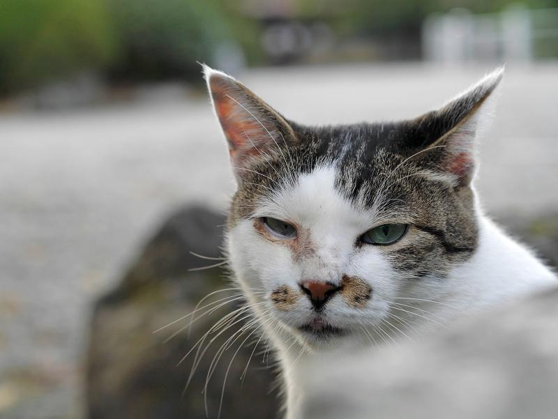 石灯籠から見つめる白キジ猫3