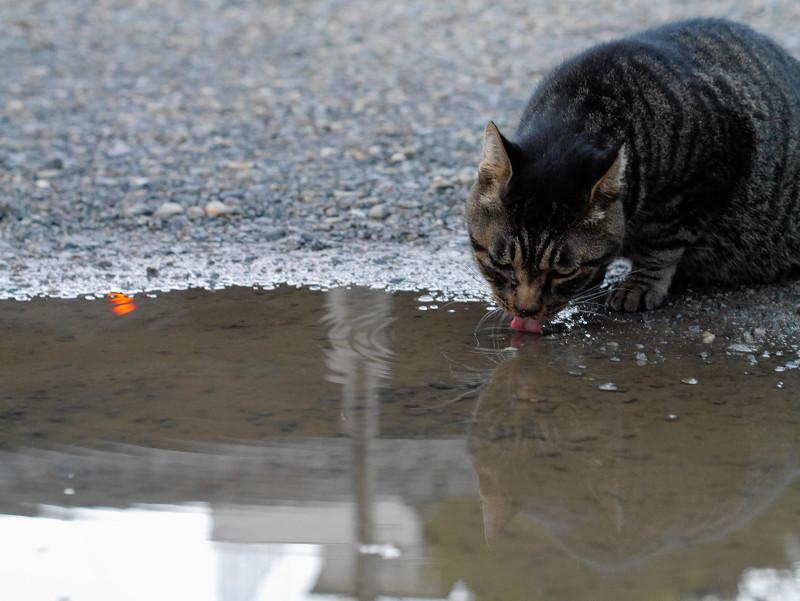 雨水溜り水を飲むキジトラ猫3