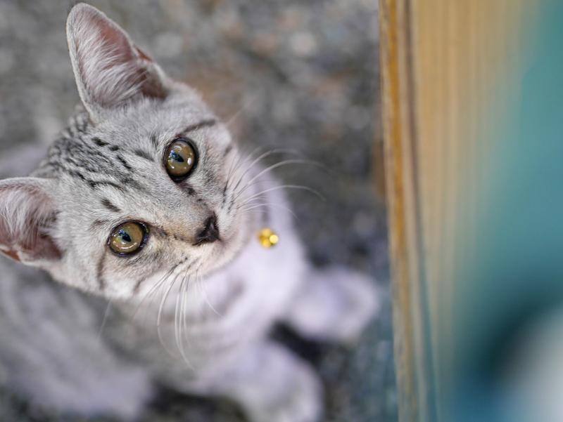 下から見上げるサバトラ仔猫1