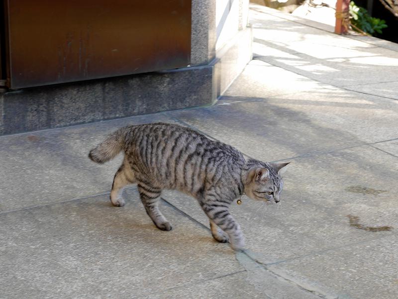 歩いてるサバトラ猫1
